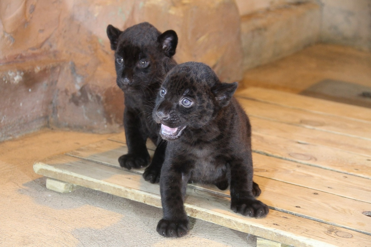 in-the-nizhny-novgorod-zoo-limpopo-were-born-two-black-jaguar-00