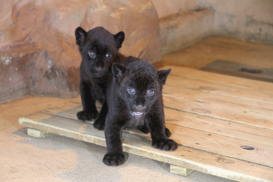 in-the-nizhny-novgorod-zoo-limpopo-were-born-two-black-jaguar-01