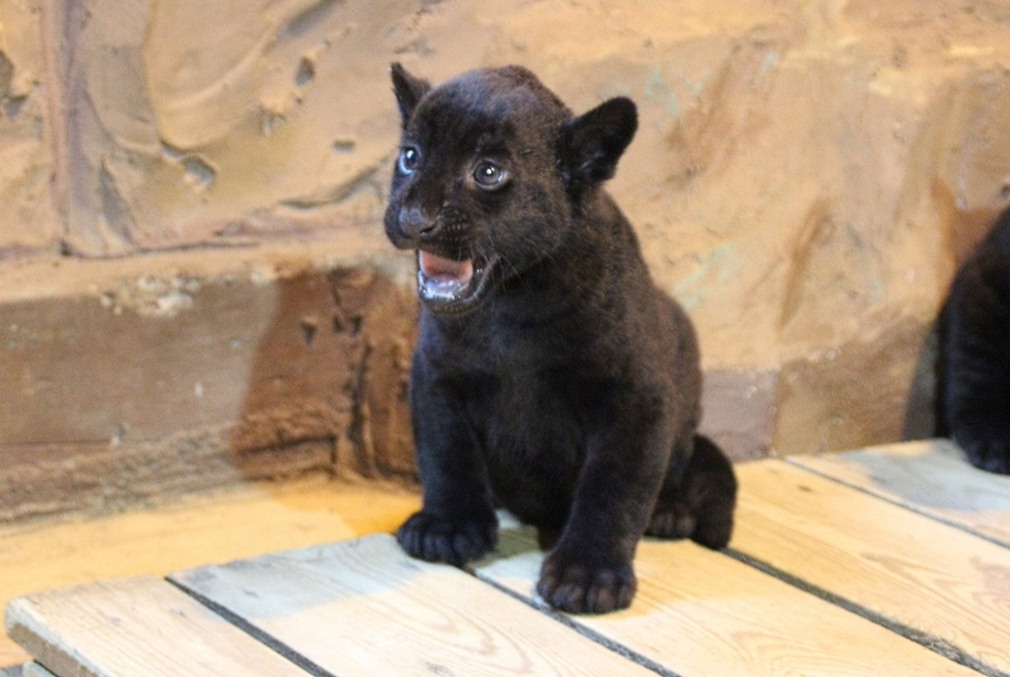 in-the-nizhny-novgorod-zoo-limpopo-were-born-two-black-jaguar-06