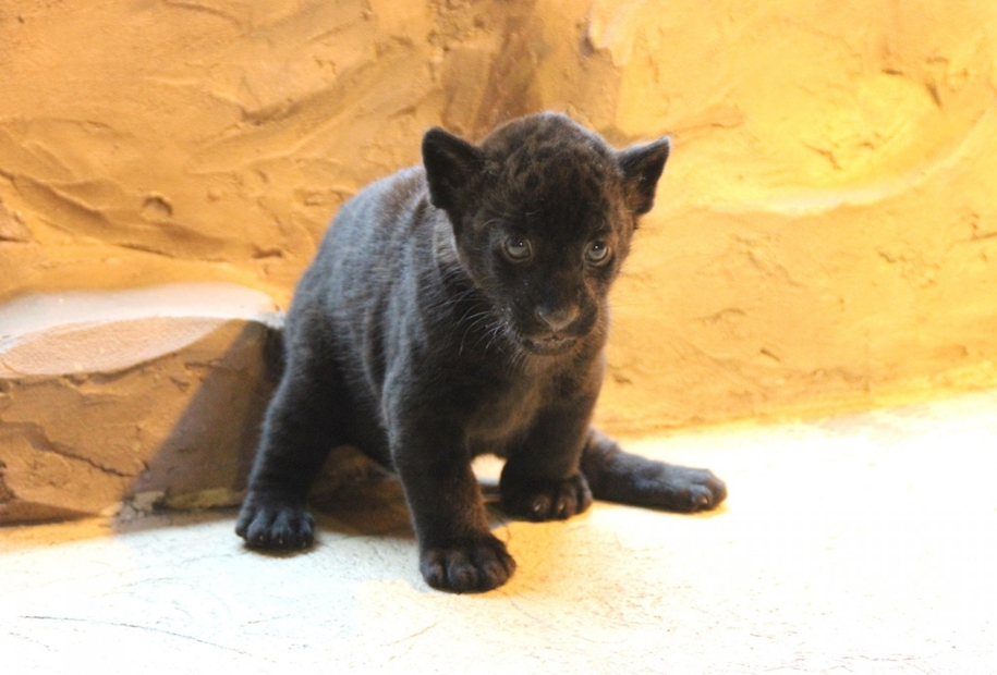 in-the-nizhny-novgorod-zoo-limpopo-were-born-two-black-jaguar-07