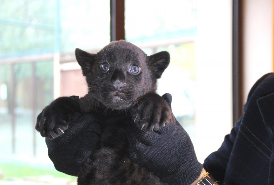 in-the-nizhny-novgorod-zoo-limpopo-were-born-two-black-jaguar-08