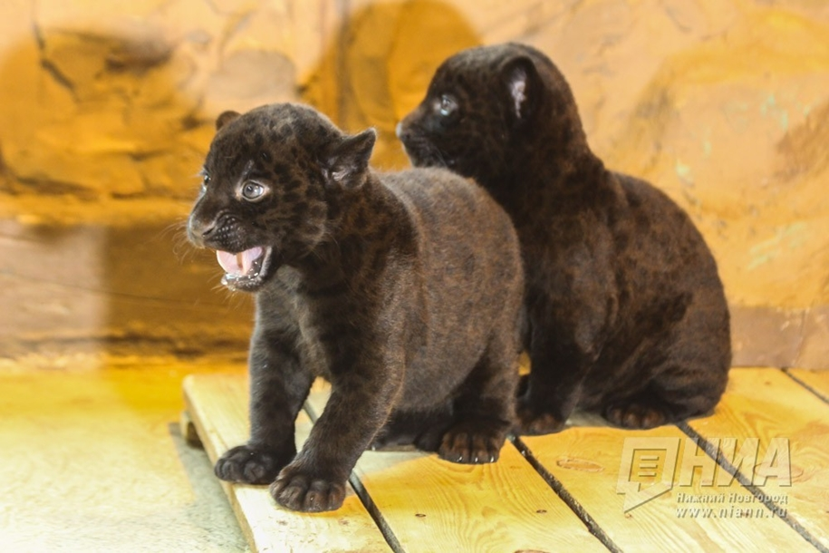 in-the-nizhny-novgorod-zoo-limpopo-were-born-two-black-jaguar-10