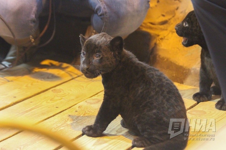 in-the-nizhny-novgorod-zoo-limpopo-were-born-two-black-jaguar-11