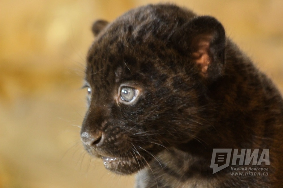 in-the-nizhny-novgorod-zoo-limpopo-were-born-two-black-jaguar-12
