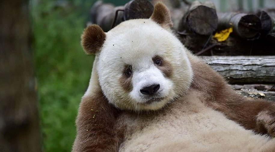 quisi-the-worlds-only-white-brown-giant-panda-00
