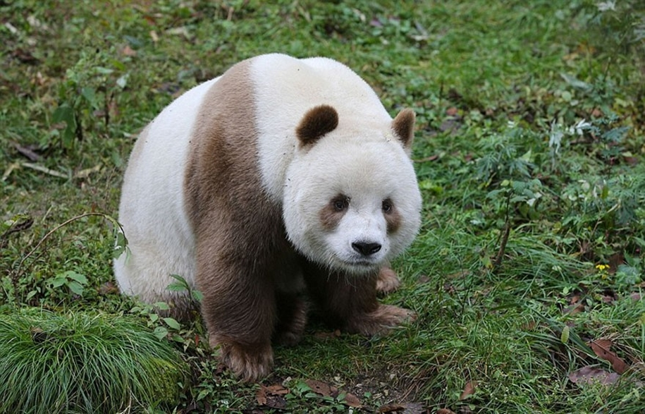 quisi-the-worlds-only-white-brown-giant-panda-01