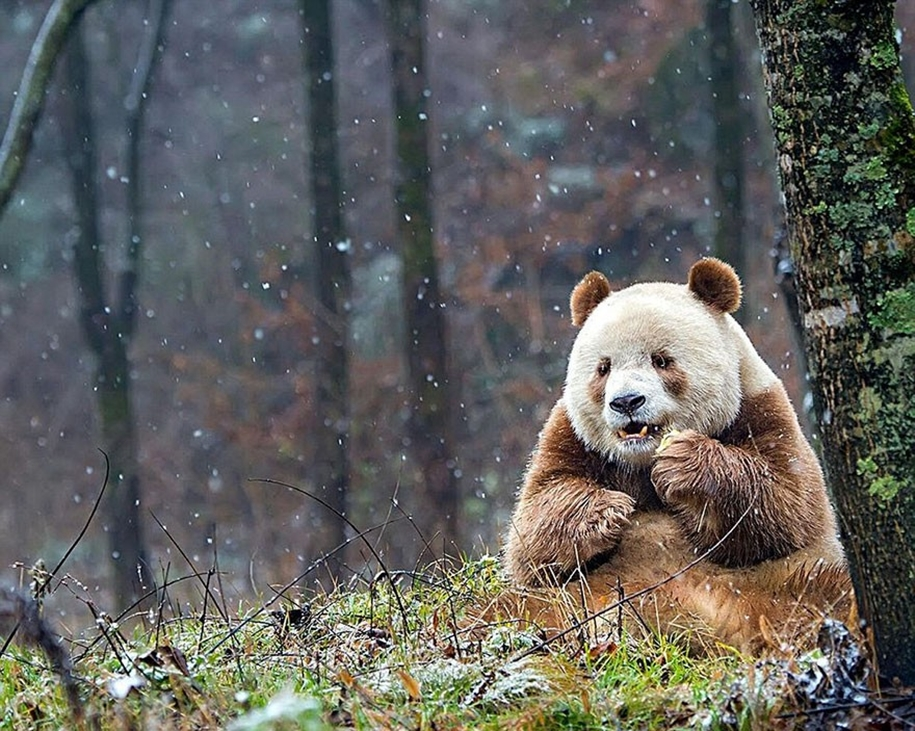 quisi-the-worlds-only-white-brown-giant-panda-02
