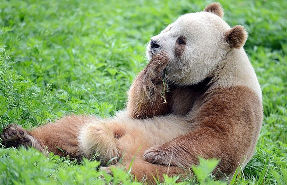 quisi-the-worlds-only-white-brown-giant-panda-03