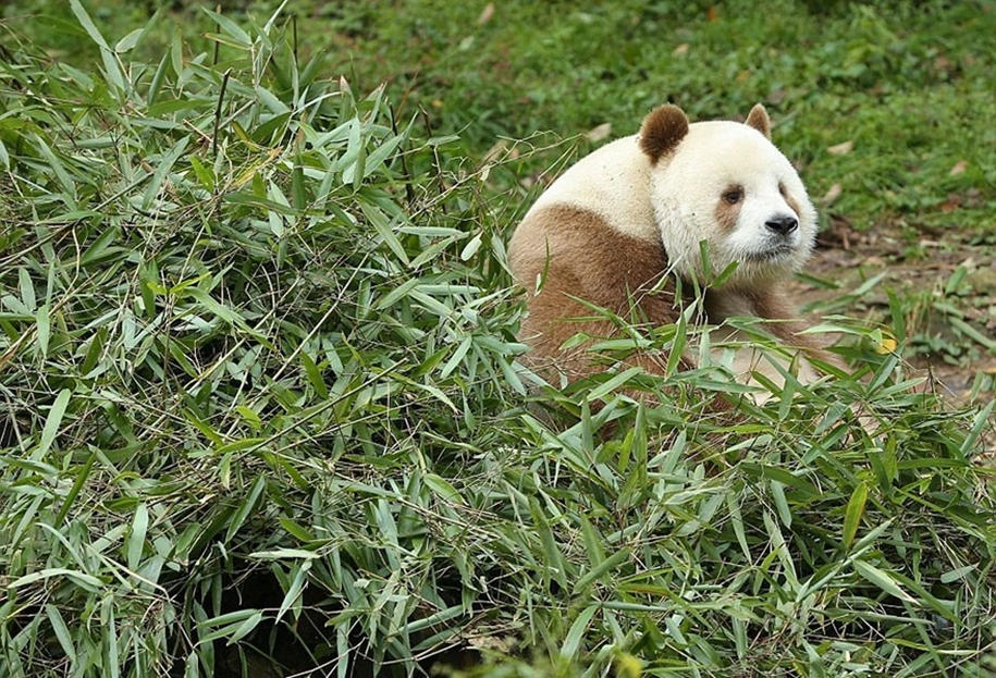 quisi-the-worlds-only-white-brown-giant-panda-04