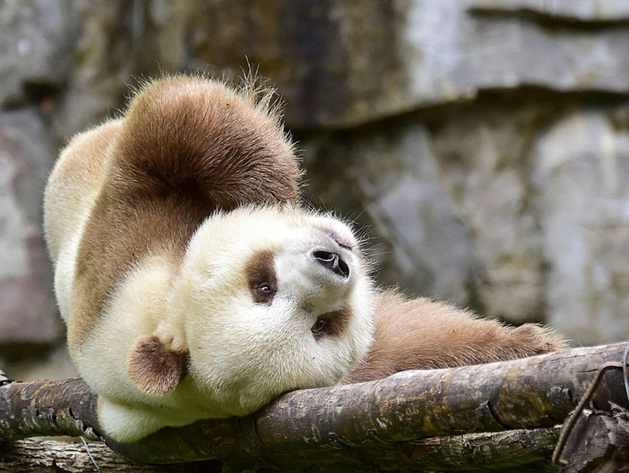 quisi-the-worlds-only-white-brown-giant-panda-05