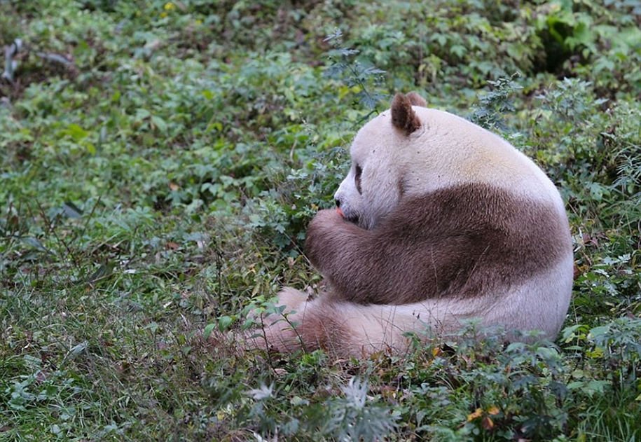 quisi-the-worlds-only-white-brown-giant-panda-07