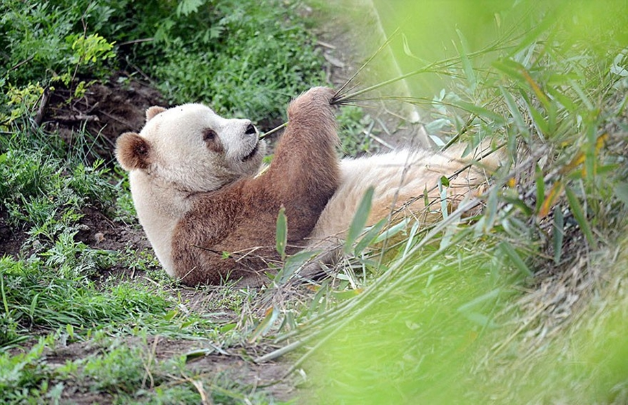 quisi-the-worlds-only-white-brown-giant-panda-08