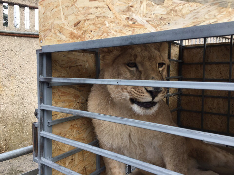 saved-by-the-lioness-lola-from-chelyabinsk-released-in-a-safari-park-taigan-02