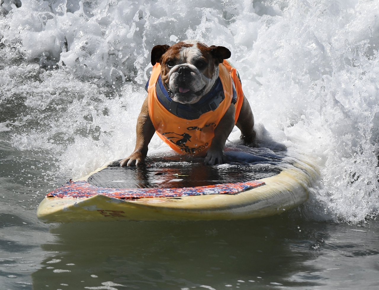 the-annual-competition-dog-surfing-in-california-00
