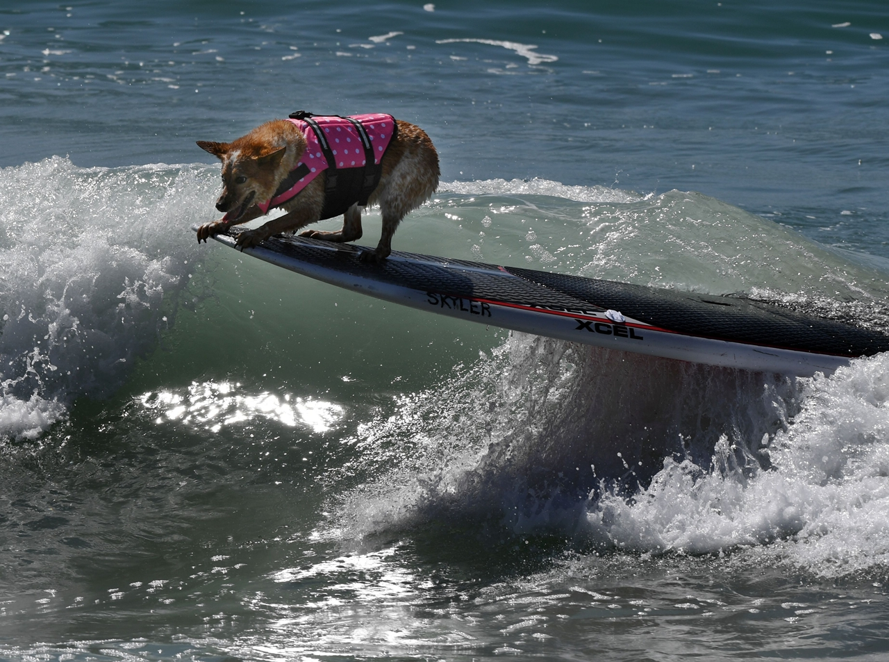 the-annual-competition-dog-surfing-in-california-01