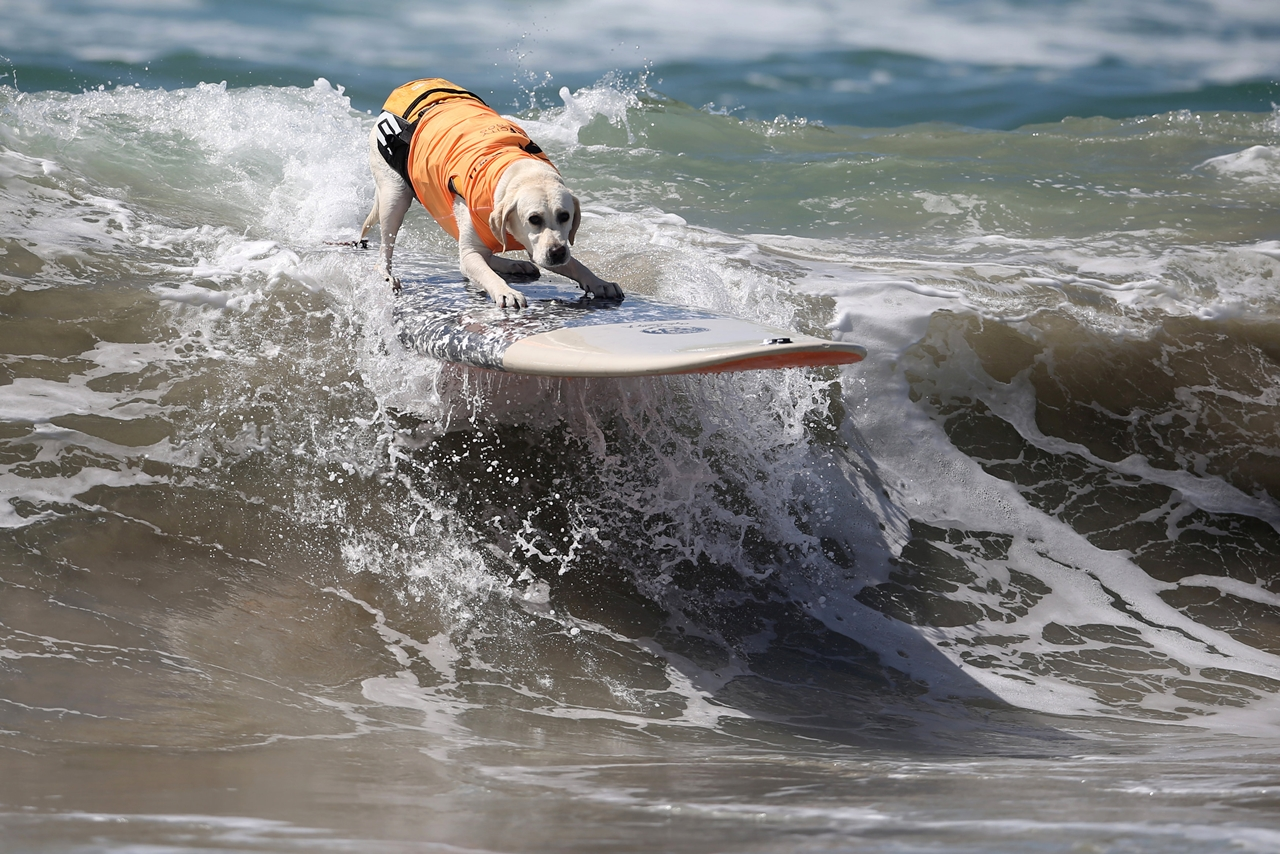 the-annual-competition-dog-surfing-in-california-09