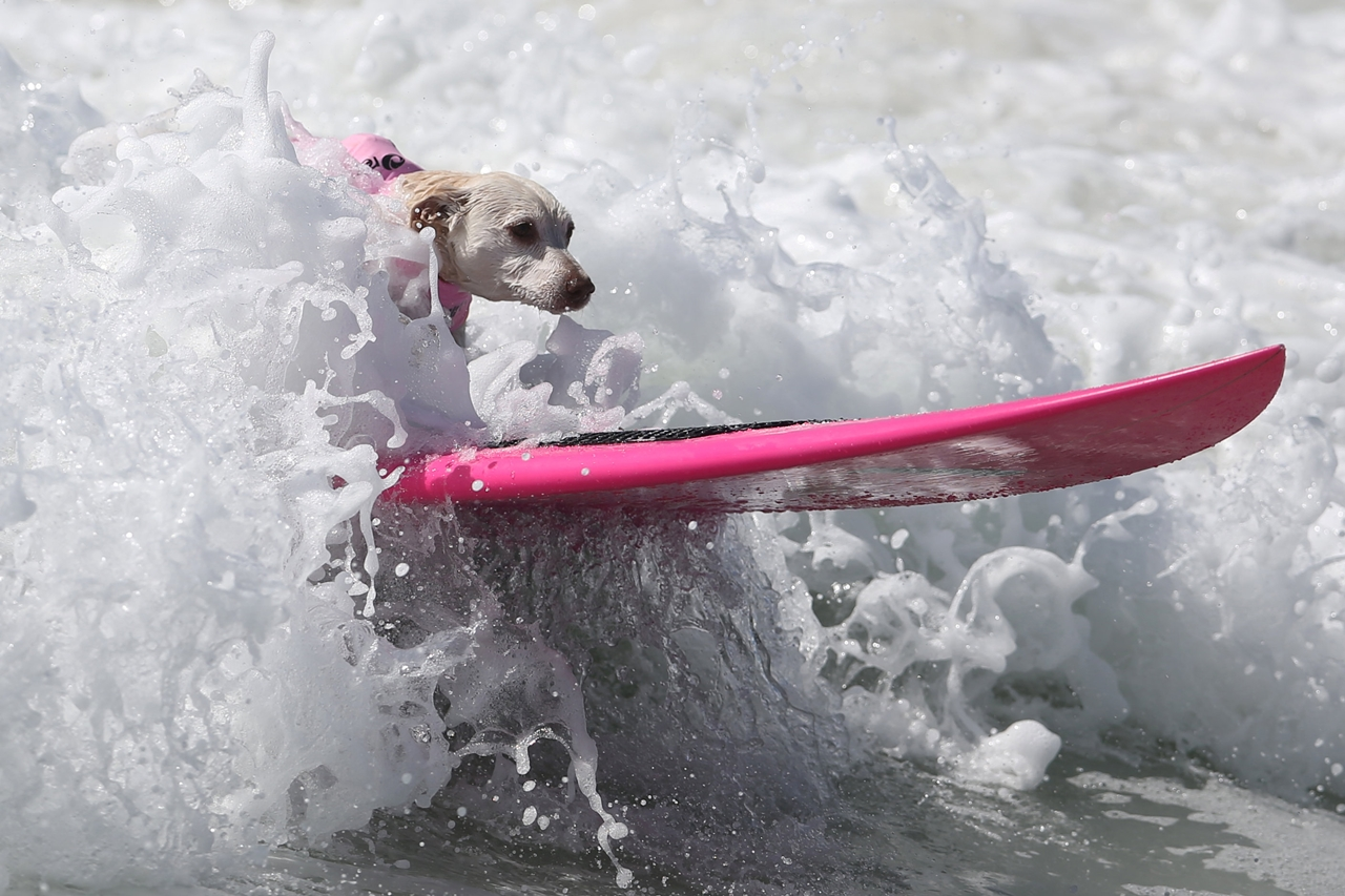 the-annual-competition-dog-surfing-in-california-15