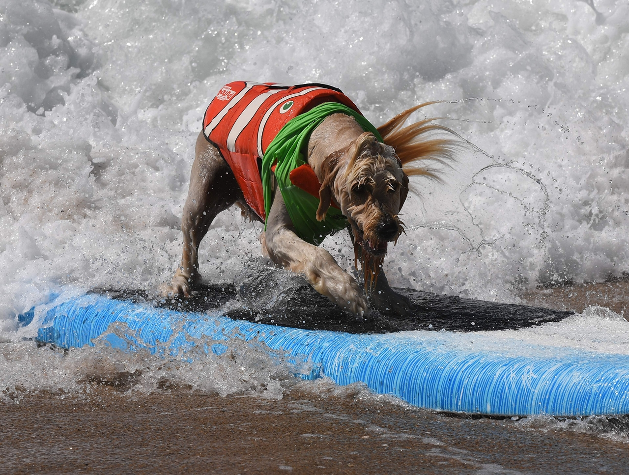 the-annual-competition-dog-surfing-in-california-17