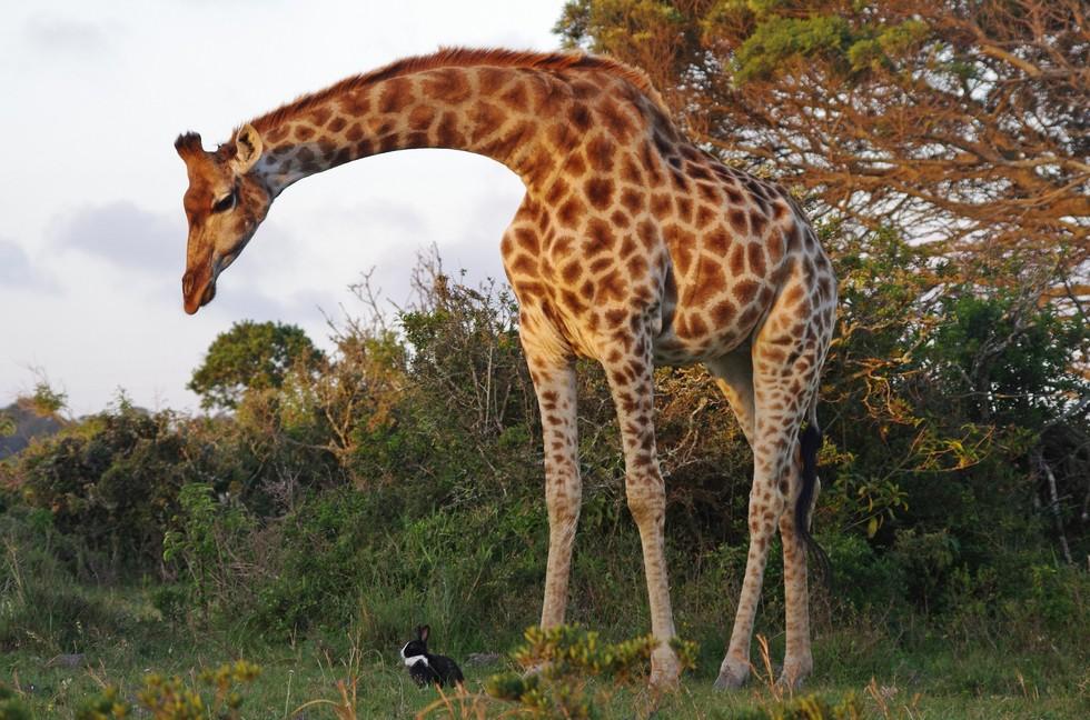 Самая странная парочка друзей: жираф и кролик
