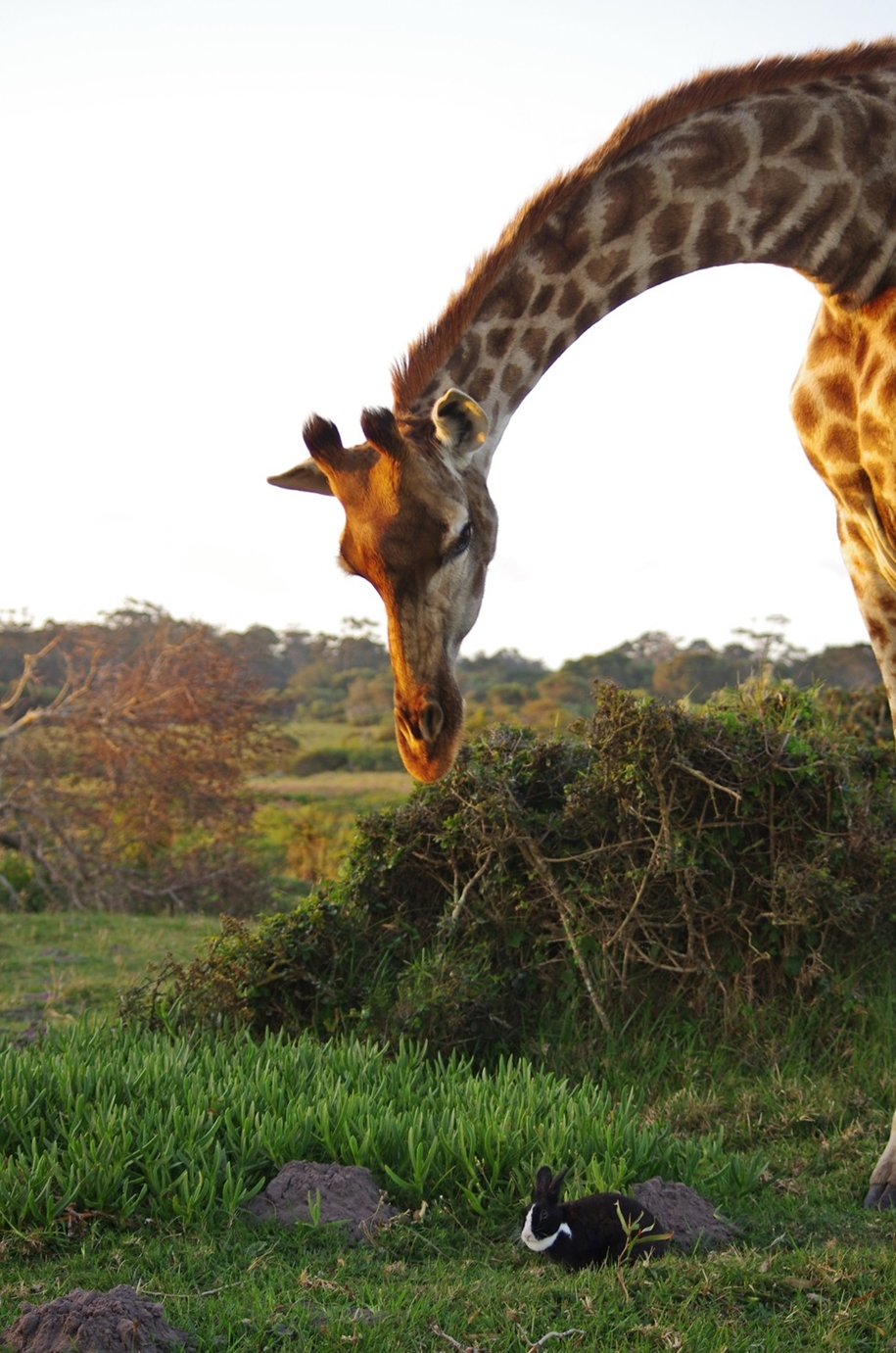 the-oddest-couple-of-friends-a-giraffe-and-a-rabbit-01