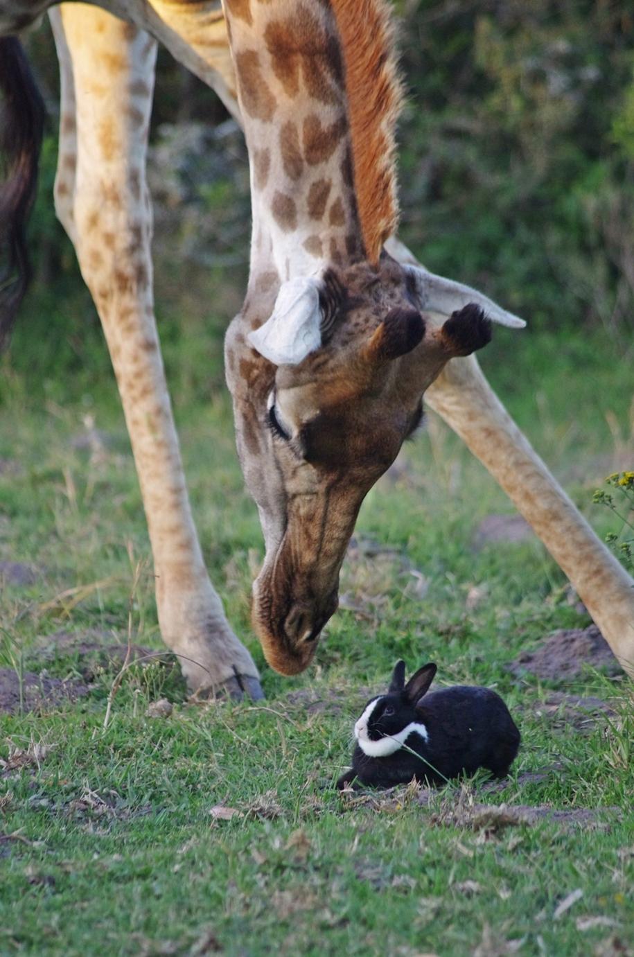 the-oddest-couple-of-friends-a-giraffe-and-a-rabbit-05
