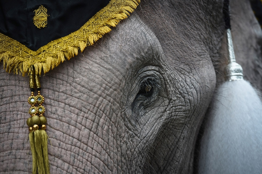 11-elephants-tribute-to-the-thai-king-06