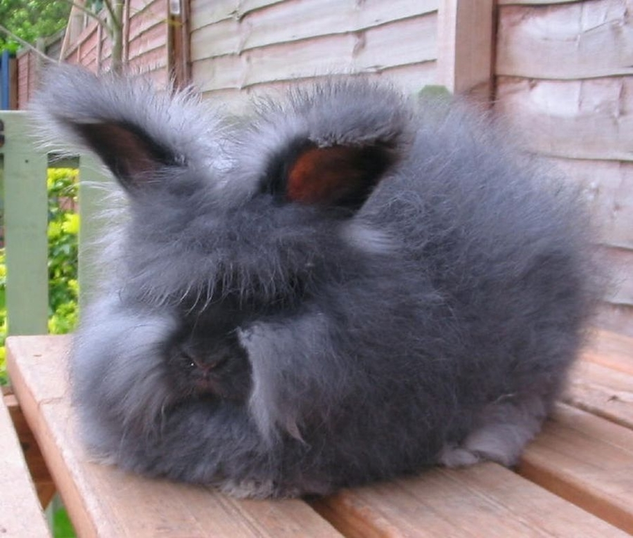 angora-rabbit-02