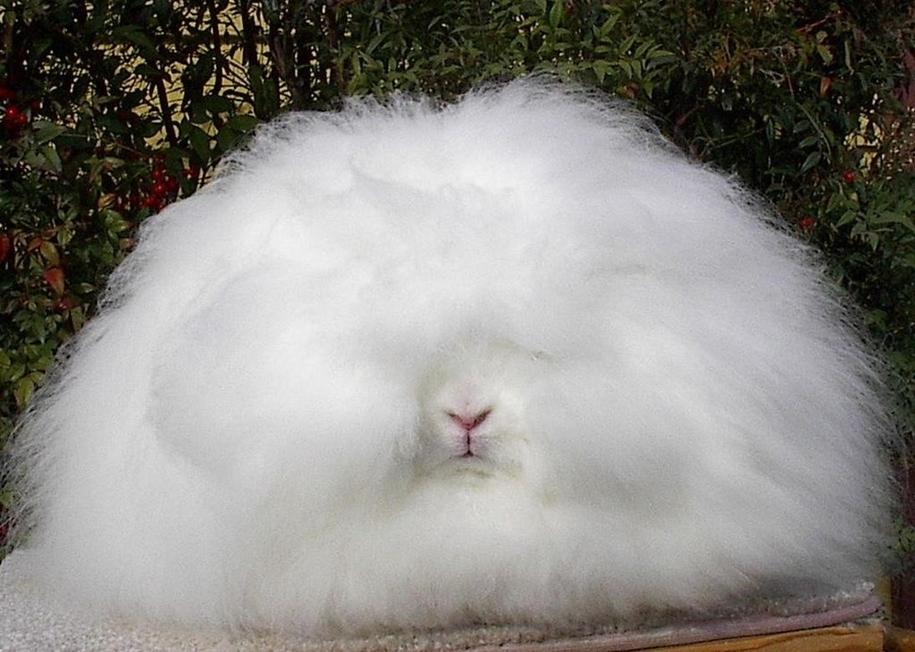 angora-rabbit-03