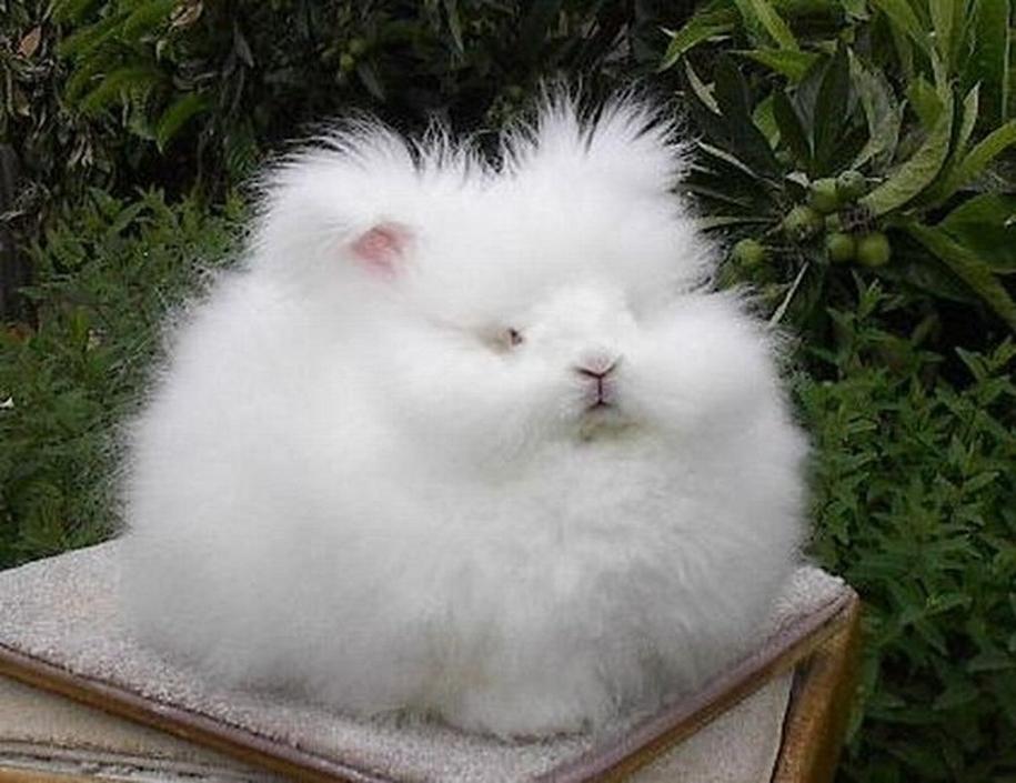 angora-rabbit-04
