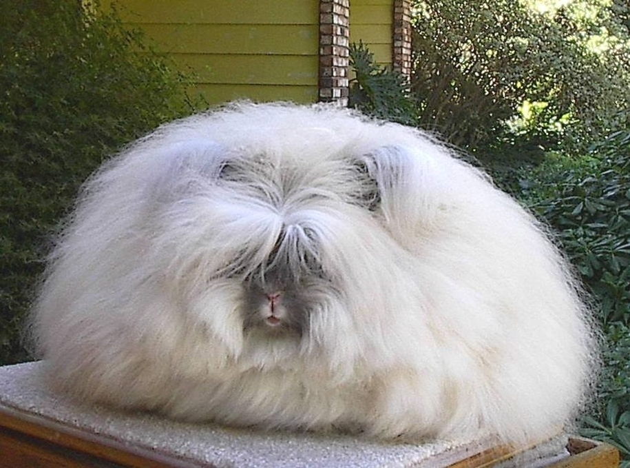 angora-rabbit-05
