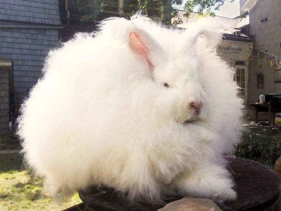 angora-rabbit-06