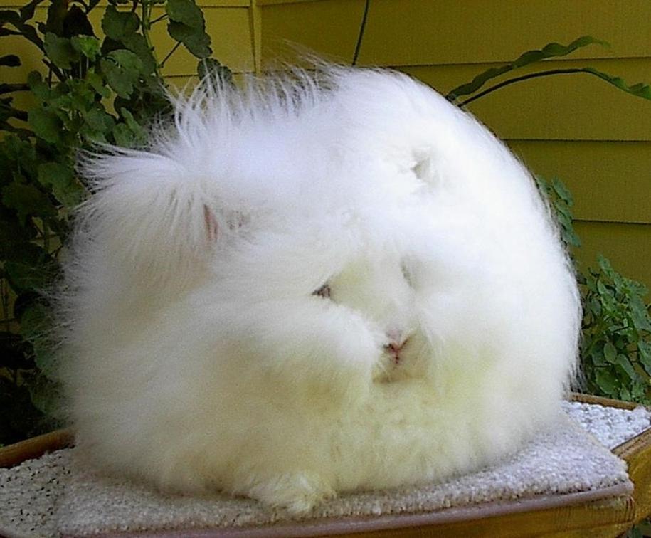 angora-rabbit-07