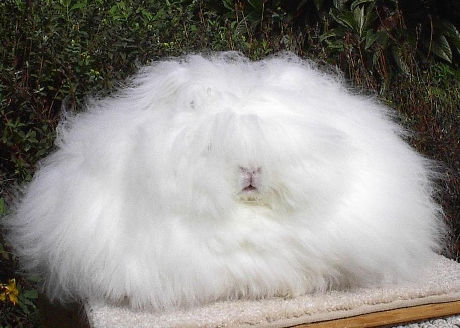 angora-rabbit-08