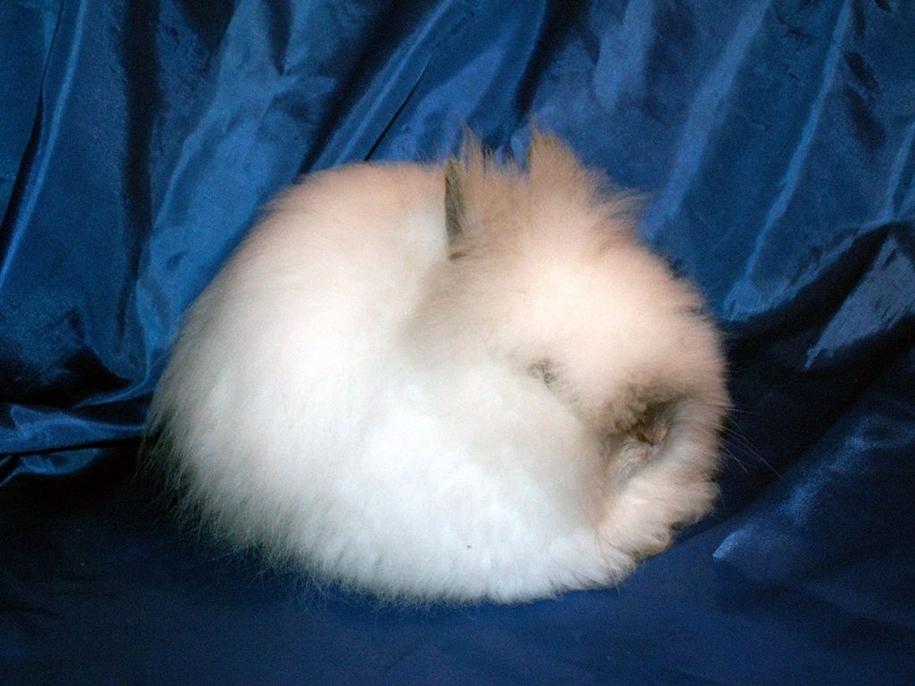 angora-rabbit-10