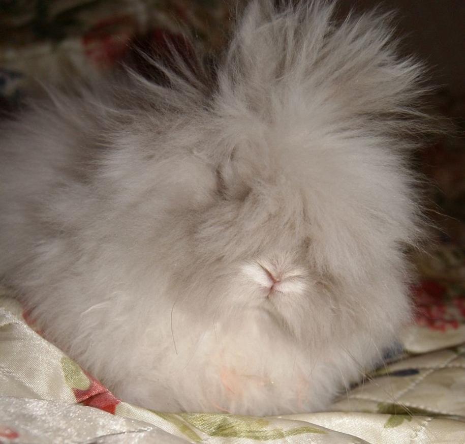 angora-rabbit-11