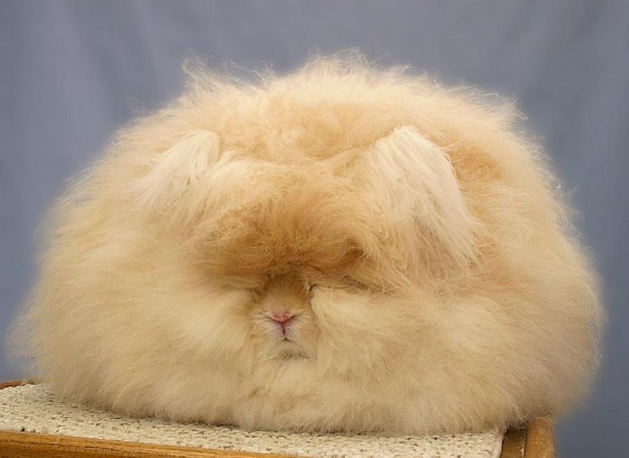 angora-rabbit-14