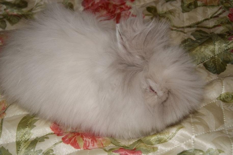 angora-rabbit-15