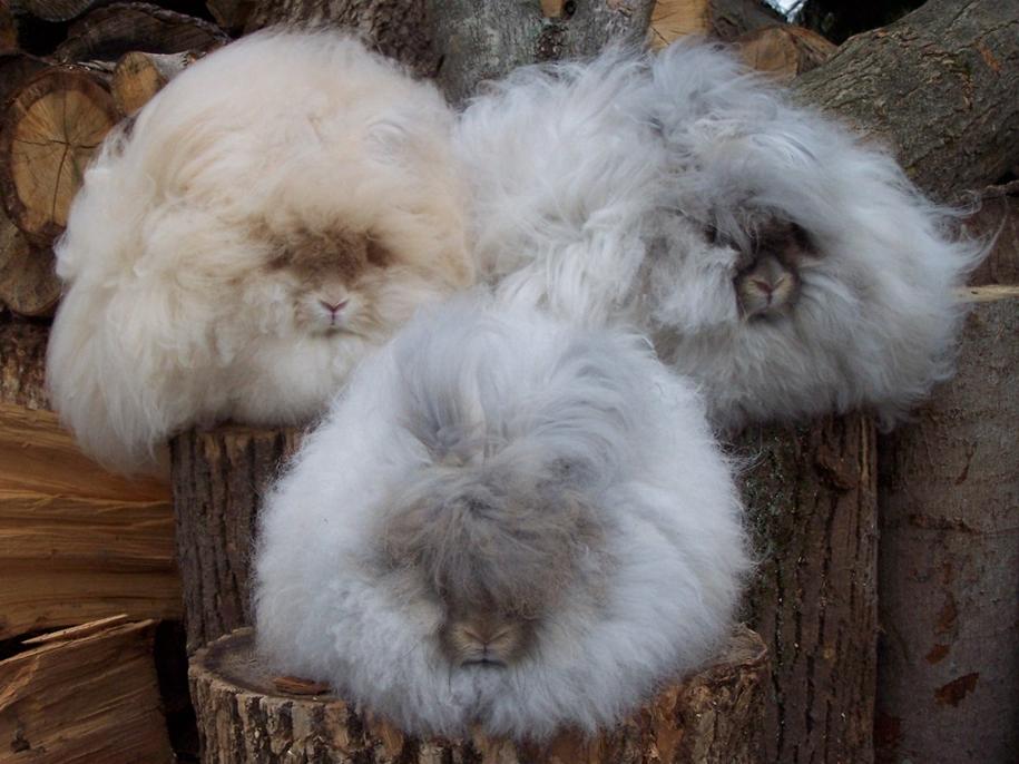 angora-rabbit-17