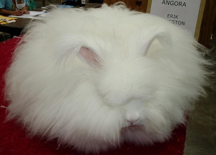 angora-rabbit-18