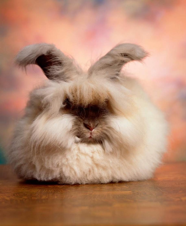 angora-rabbit-19