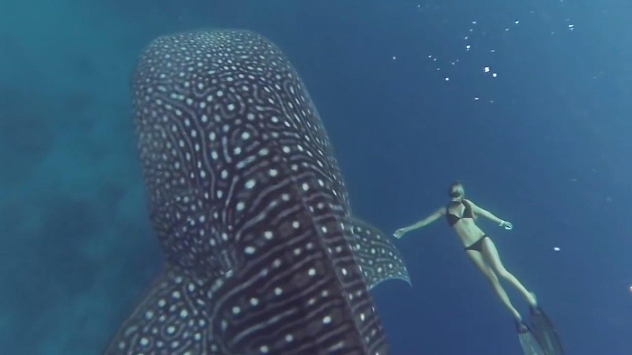 Удивительное видео о заплыве девушки с гигантской китовой акулой