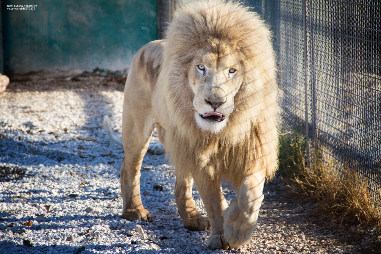 have-saved-the-lioness-lola-in-the-crimean-zoo-has-its-own-pride-05