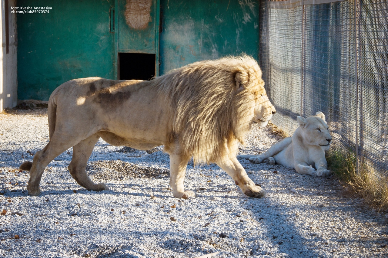 have-saved-the-lioness-lola-in-the-crimean-zoo-has-its-own-pride-06