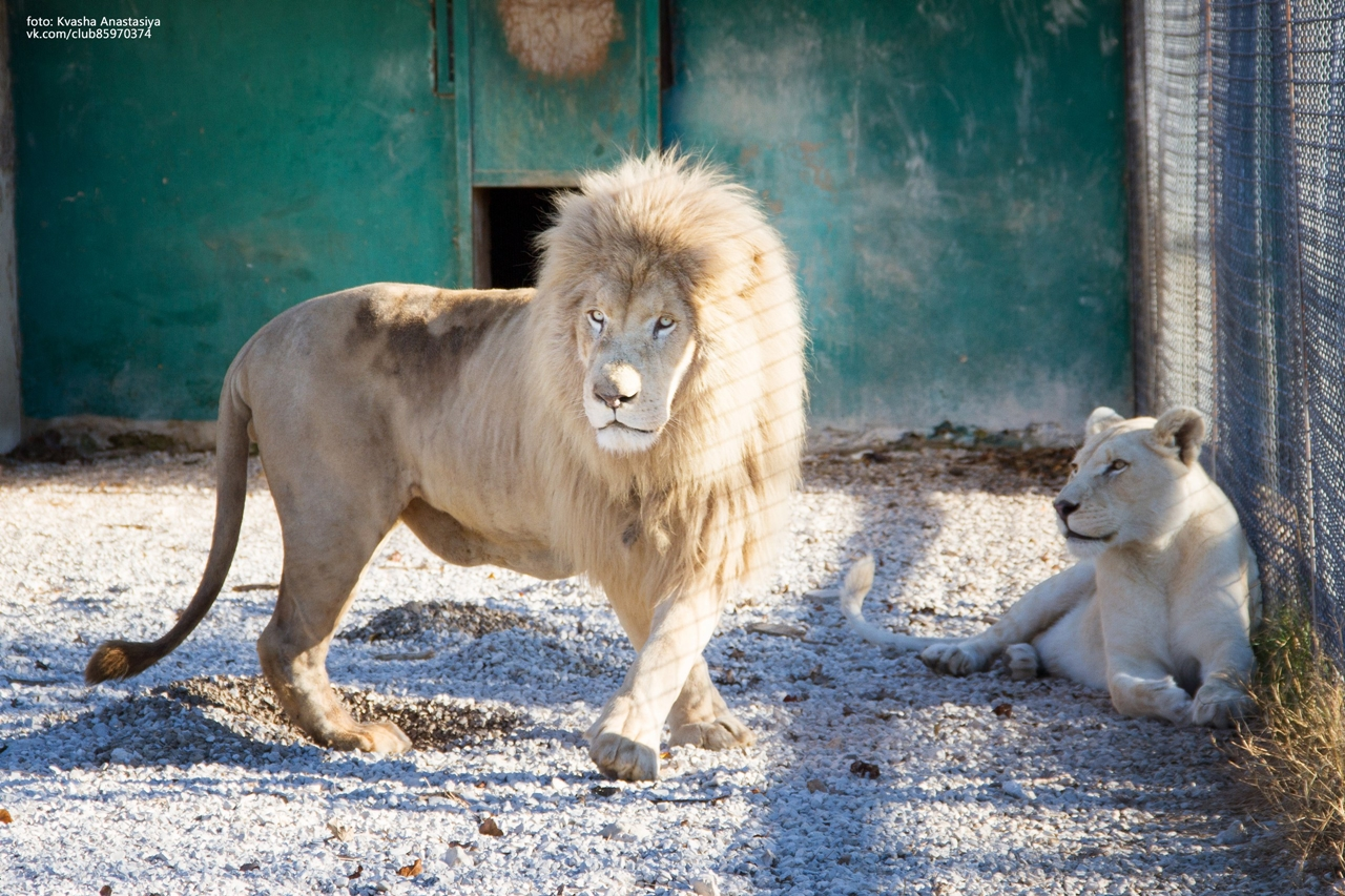 have-saved-the-lioness-lola-in-the-crimean-zoo-has-its-own-pride-08