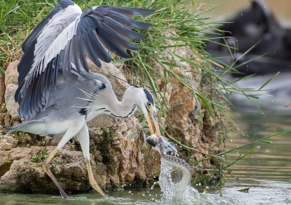 like-the-heron-with-the-snake-fish-shared-00