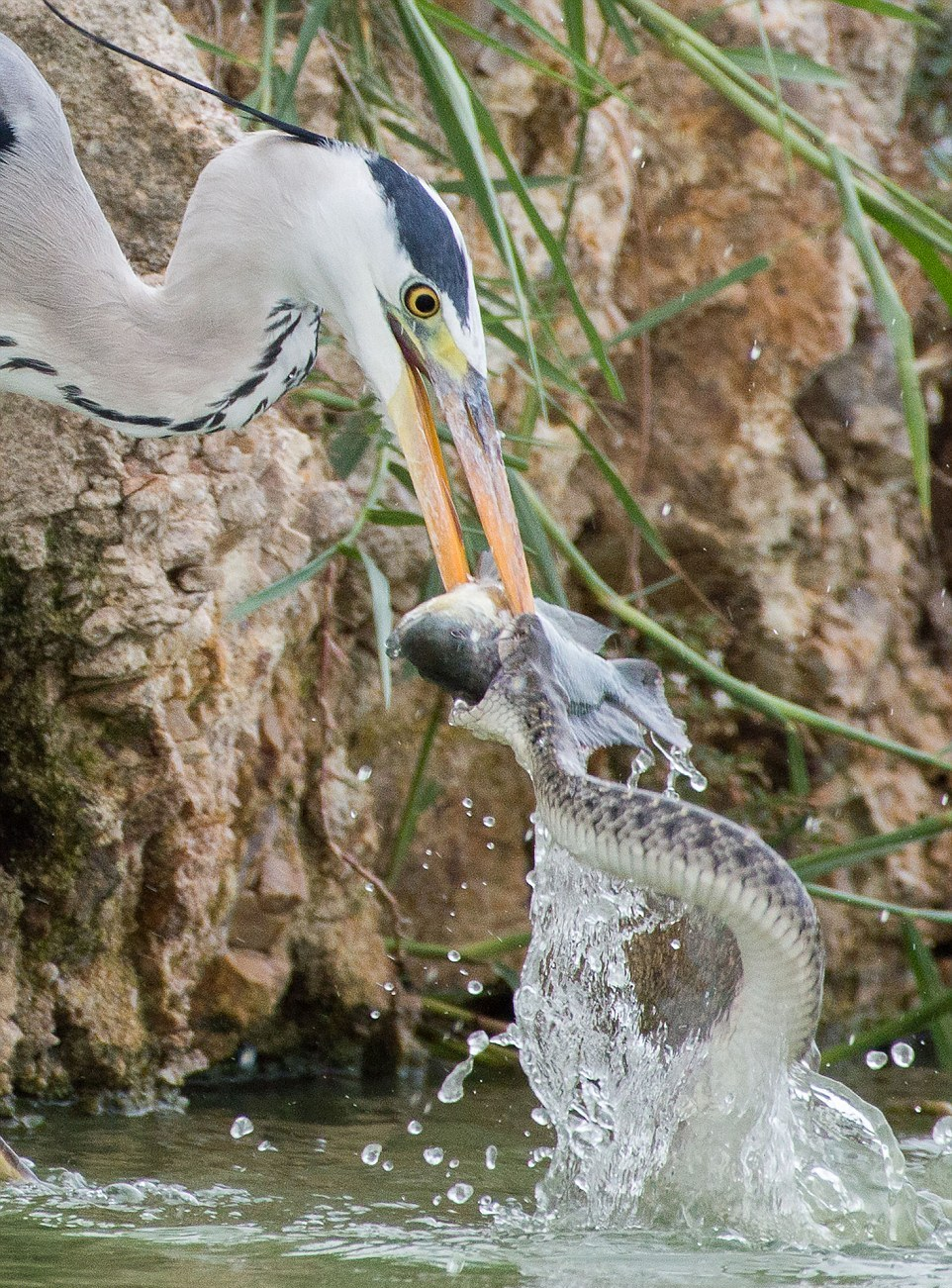 like-the-heron-with-the-snake-fish-shared-03