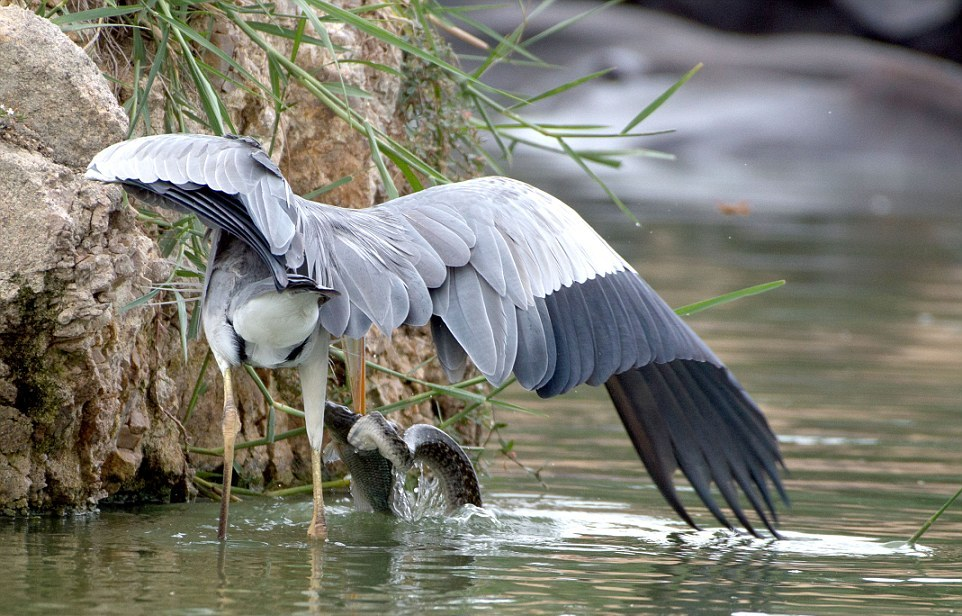 like-the-heron-with-the-snake-fish-shared-04