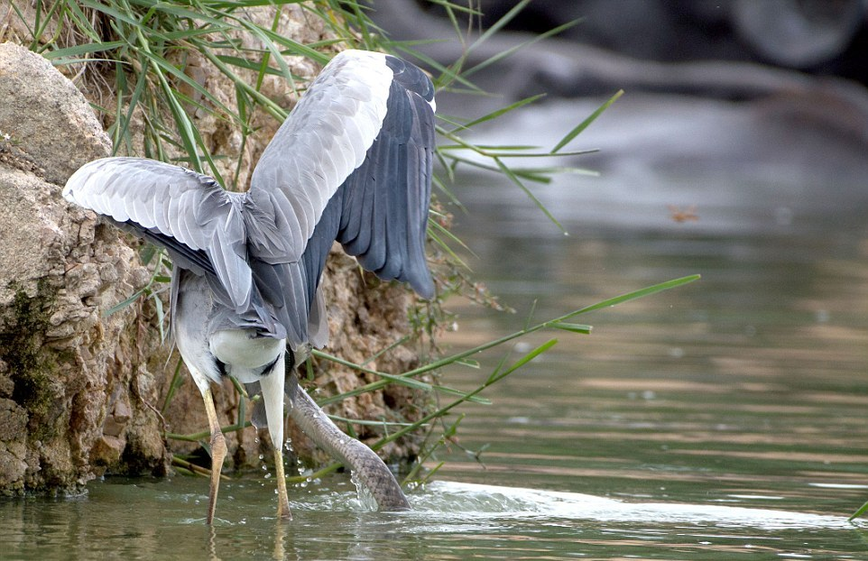 like-the-heron-with-the-snake-fish-shared-05