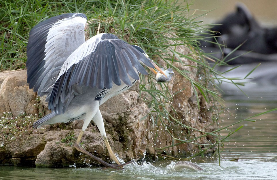 like-the-heron-with-the-snake-fish-shared-06