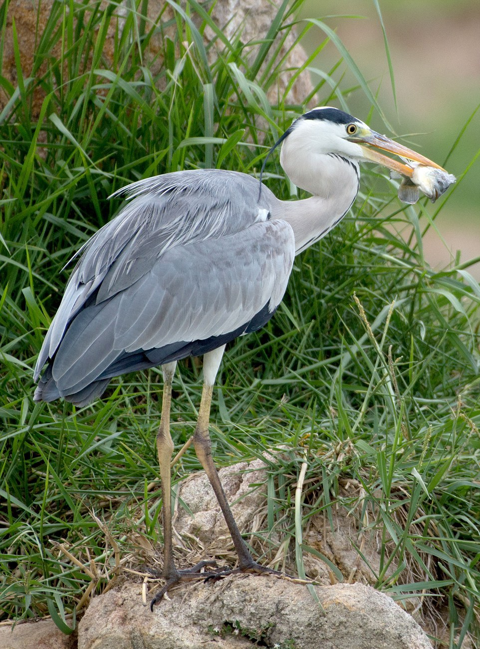 like-the-heron-with-the-snake-fish-shared-07